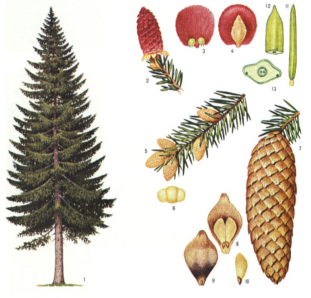 какого цвета и формы листья на сосне всего, это термобелье