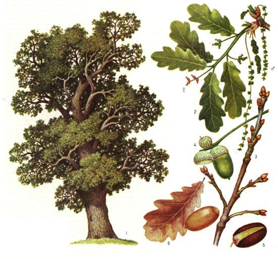 Картинка дуба осенью